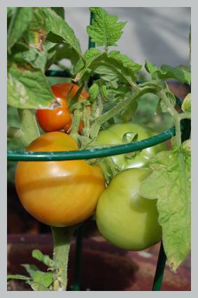tomatotall2.jpg