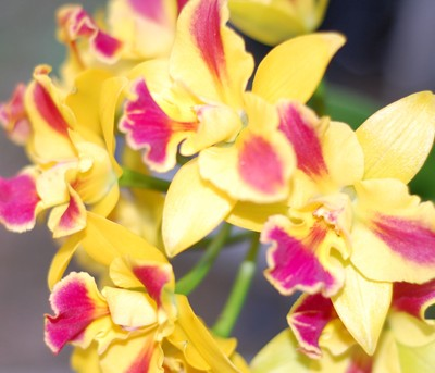 The Orchids Are In Bloom